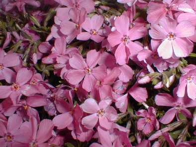Wild Ground Phlox